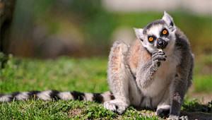 crazy-lemur