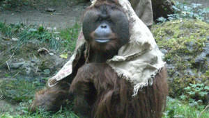 funny-orangutan
