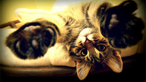upside-down-maine-coon