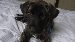 mastiff-puppy