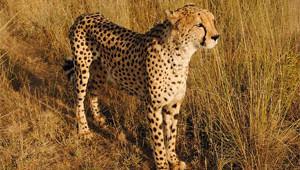 lone-cheetah