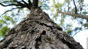 giant-oak