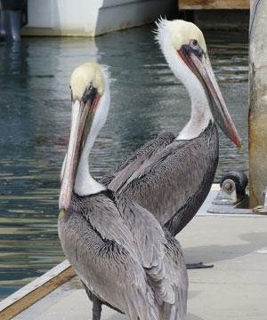 mexican-pelicans