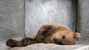 napping-bear