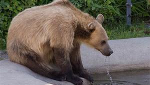 drinking-bear