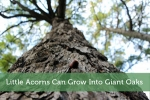Little Acorns Can Grow Into Giant Oaks
