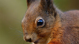 scheming-squirrel