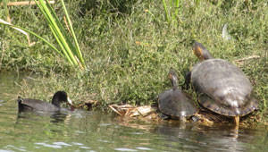 turtles-and-duck